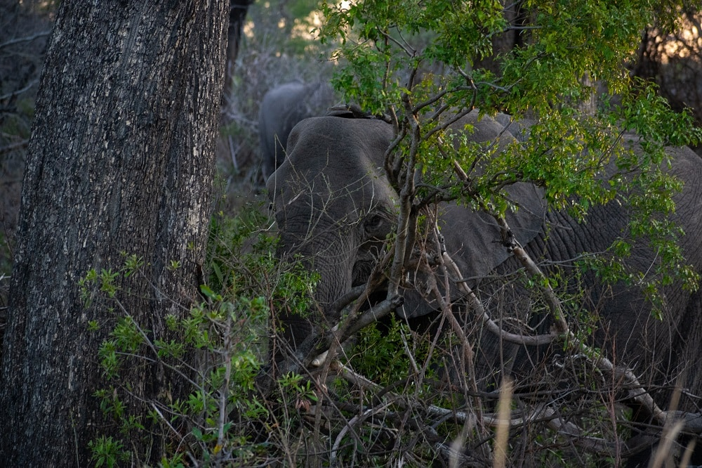 Eléphant de Kruger Parc se cache dans la savane