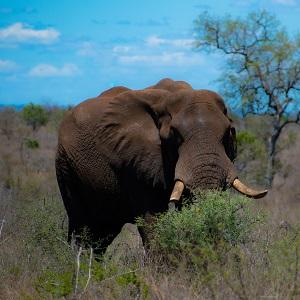 Super éléphant du parc Kruger