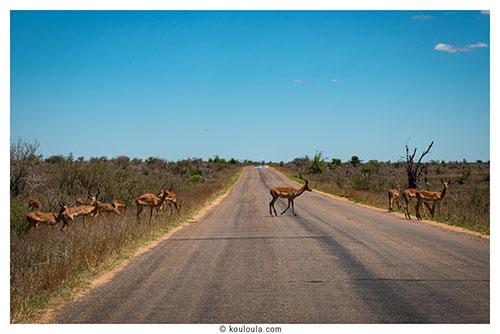quelques impala sur la route au parck kruger