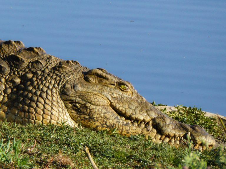 Un crocodile au soleil