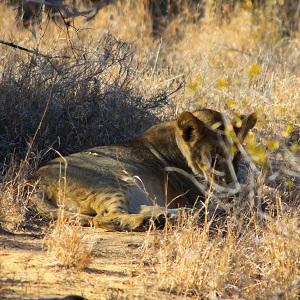 Lionceau couché à l'ombre dans la savane, on y voit ses tâches noirs !