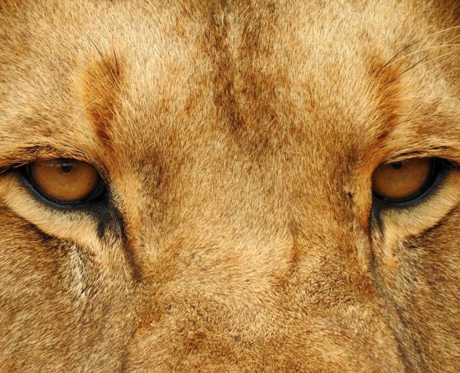 yeux de lion - kouloula.com