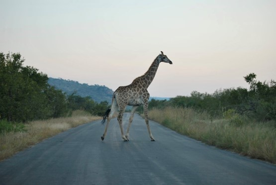 ADF🔥 #3: Trouver des rhinocéros dans le Parc Kruger