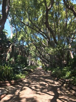 Allée des arbre centenaires au Jardin botanique de Kirstenbosch