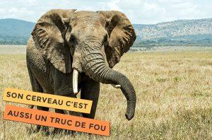 Photo d'un éléphant, le cerveau de l'éléphant, c'est un truc de fou