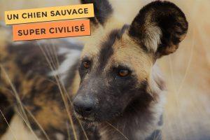 Photo du lycaon, un chien démocratique