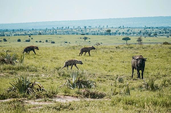 Photo de hyènes tachetées, malines comme un singe et c'est vrai !