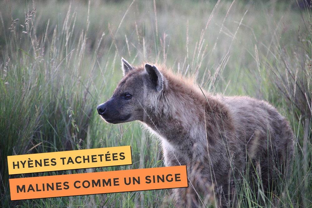 Les hyènes tachetées elles sont malines comme un singe