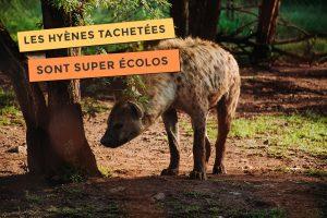 photo de hyènes tachetées sont supers écolos