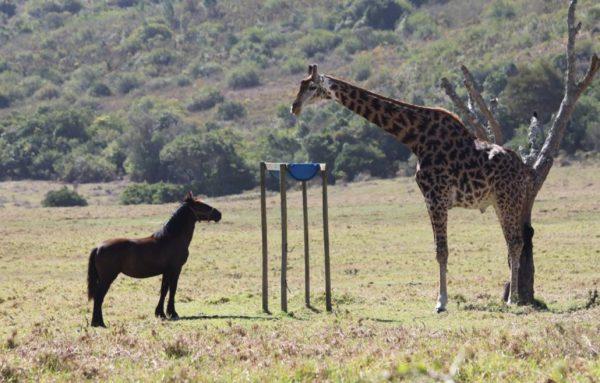 girafe vs cheval en taille