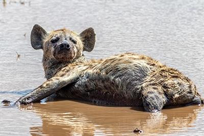 photo d'une hyène, pas un hyène