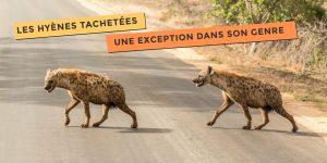 photo de hyènes tachetées une exception dans son genre