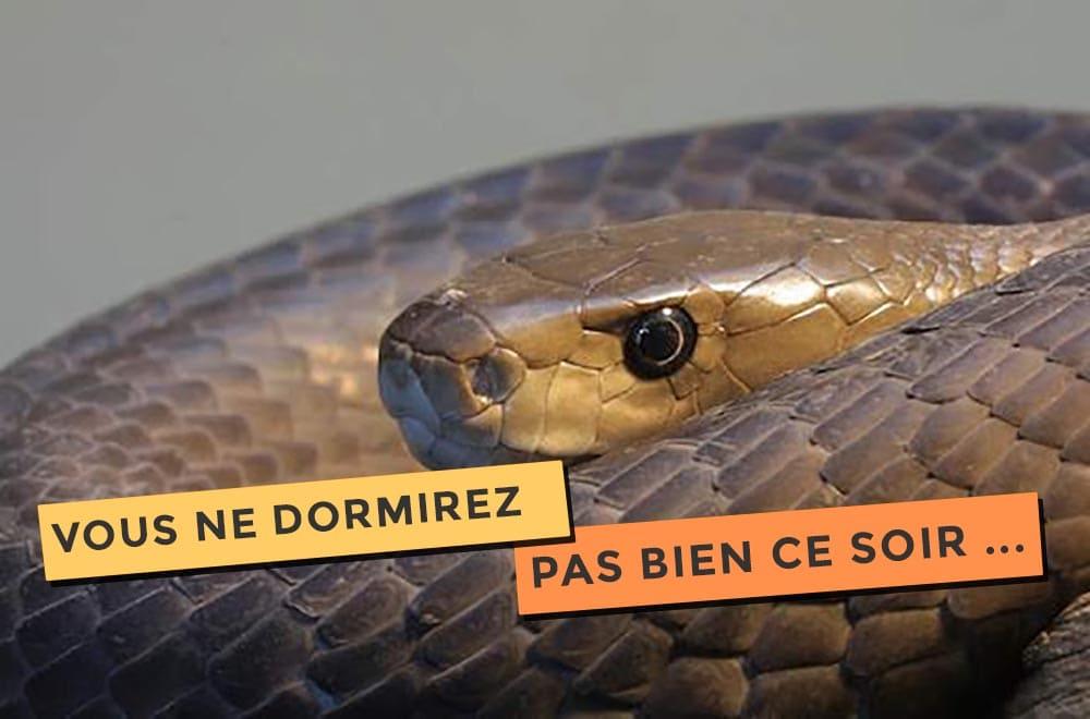 Article sur le black mamba, le serpent qui fait peur !